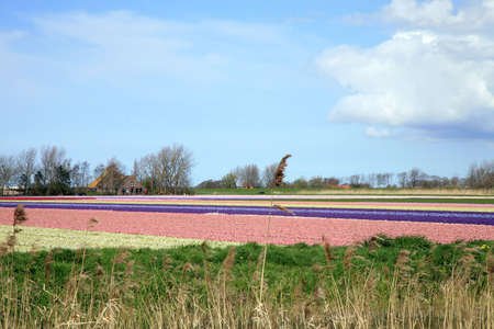 Colorful spring on Dutch country. Field of early flowers. Netherlands photo