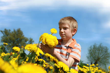 Little boy is picking bunch of dandelion on meadow full of yellow dandelions by may. photo