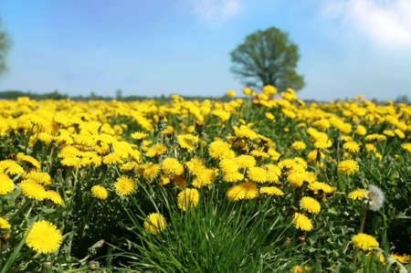Field full of yellow dandelions. Spring or summer or wild meadow. photo