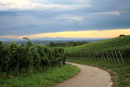 Vineyard in Schwarzwald near Baden-Baden spa – west Germany Stock Photo - 4908366
