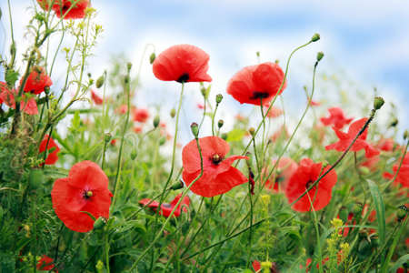 Red poppies and sky. Wildflowers flowers, summer idyll.
