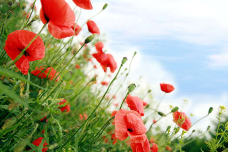 Red poppies and sky. Wildflowers flowers, summer idyll. photo