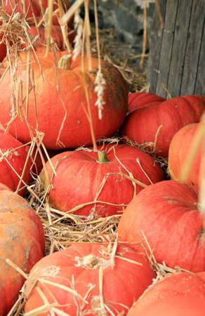 Kürbis-Orange auf dem Stroh in der Scheune vor Halloween-Tag. Herbst Kulturen.