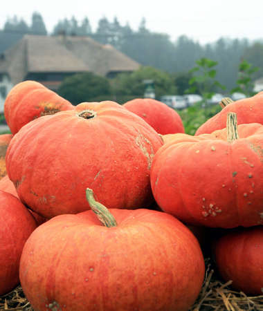 Orange  pumpkins on the straw before Halloween Day.  Autumn crops. Holiday of the pumpkin in Belgium Stock Photo - 5416665