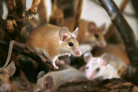 mouse trap: African, desert thorny mouse (Acomys cahirus )  - domestic animal in the terrarium  Stock Photo