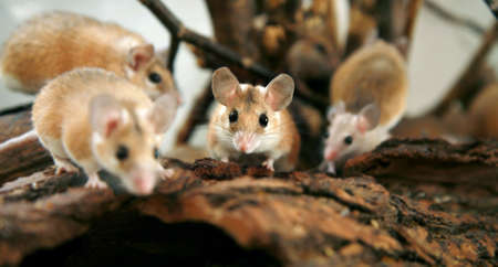 prying: African, desert thorny mouse (Acomys cahirus )  - domestic animal in the terrarium  Stock Photo
