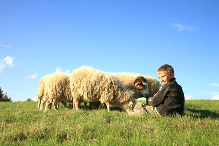 The boy is feeding sheep on the meadow. Skudde - the most primitive sheep breed in Europe