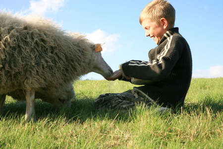 The boy is feeding sheep on the meadow. Skudde - the most primitive sheep breed in Europe  photo