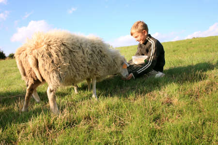 The boy is feeding sheep on the meadow by sunset. Skudde - the most primitive and smallest sheep breed in Europe on the field in Pasterka village in Poland. Stock Photo - 8452228