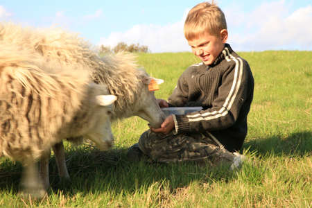 The boy is feeding sheep on the meadow by sunset. Skudde - the most primitive and smallest sheep breed in Europe on the field in Pasterka village in Poland. 版權商用圖片