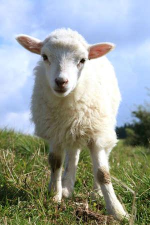 White grasen Lämmer. Herde Schafe, Skudde - die meisten primitiven und kleinste Schaf-Rasse in Europa auf dem Feld in Pasterka Dorf in Polen.