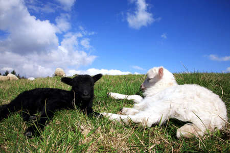 Weiß und schwarz, die Lämmer zu schlafen. Herde Schafe, Skudde - die meisten primitiven und kleinste Schaf-Rasse in Europa auf dem Feld in Pasterka Dorf in Polen.