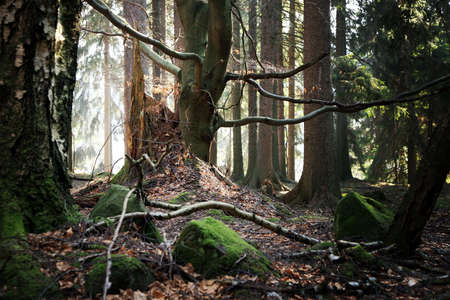 dense forest: Old beech and the stump of felled trees. Forest near a small village Pasterka in Poland, Table ( Stolowe ) Mountains.