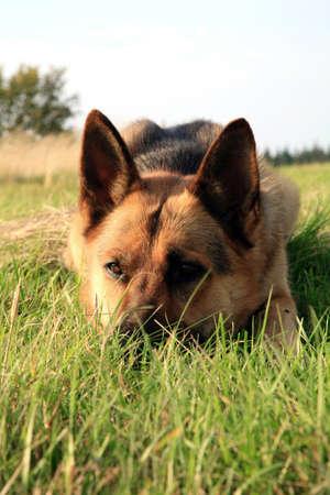Portrait of a beautiful german shepherd or alsatian dog lying in the grass  and observation Standard-Bild