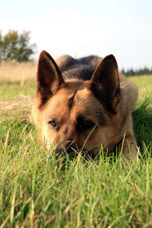 german shepherd on the grass: Portrait of a beautiful german shepherd or alsatian dog lying in the grass  and observation Stock Photo