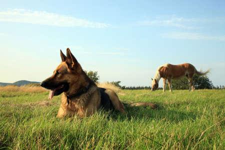 Porträt einer schönen Deutsch Schäfer oder Schäferhund im Gras liegen und Beobachtung Standard-Bild