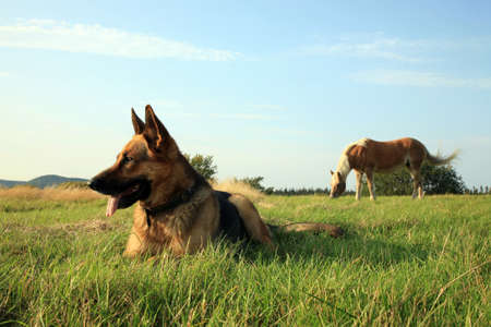 shepherd's companion: Portrait of a beautiful german shepherd or alsatian dog lying in the grass  and observation Stock Photo