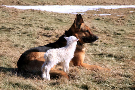 sheep dog: German Shepherd dog   Alsatian   taking care of the newborn lamb by early spring