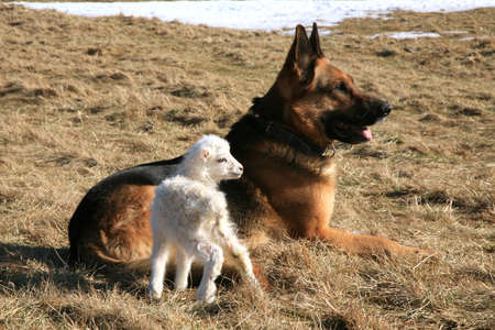 German Shepherd dog   Alsatian   taking care of the newborn lamb by early spring  Stock Photo - 12967083