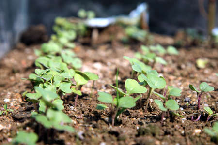 Close-up of green seedling growing in hotbed out of soil photo