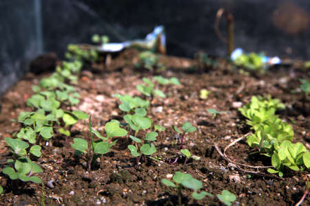 hotbed: Close-up of green seedling growing in hotbed out of soil
