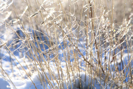 Delicate sprigs of grass with ice crystals shimmering in the sun. Winter background.