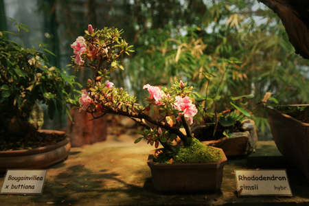 Azalea bonsai, Orangery with tropical plants in Czech Republic, Liberec  photo