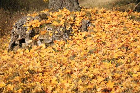 season specific: Gold autumn leaves maple, season specific
