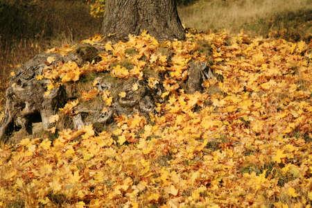 Gold autumn leaves maple, season specific photo