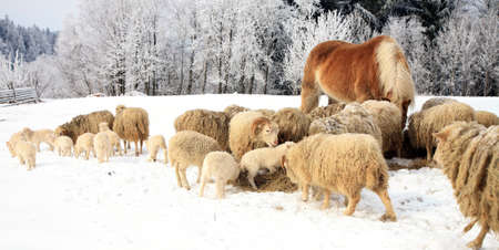 Flock of sheep skudde and horse haflinger eat the hay meadow covered with snow. Winter on the farm. 版權商用圖片