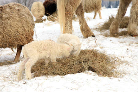 Herd of sheep skudde and horse haflinger eat the hay meadow covered with snow  Winter on the farm  photo