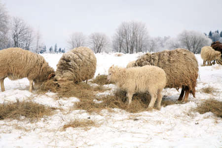 Herd of sheep skudde eating the hay meadow covered with snow  Winter on the farm  photo