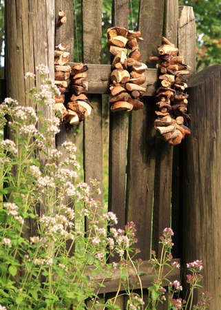 fungous: Boletes, forest, edible mushrooms, are drying is hung on the gate of the old garden  Autumn harvest