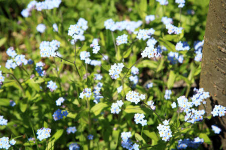 Closeup of blue forget-me-not flowers in a garden photo