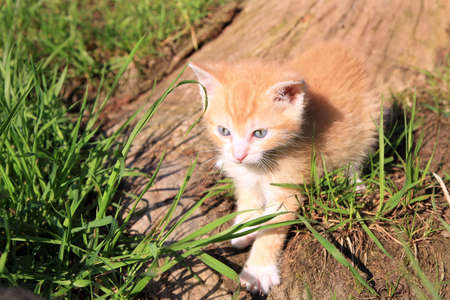 Small red hair  kitten creeps in green grass  Favorites, domestic pet  photo