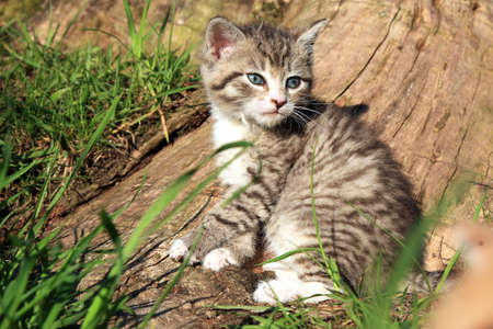 Small grey striped hair  kitten on green grass  Favorites, domestic pet  photo