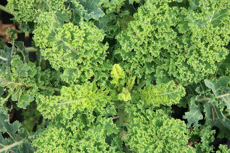 Curly Kale on the patch in the vegetable garden  Near on the cabbage caterpillars of Pieris brassicae butterfly   Organic vegetable production in the home garden  photo