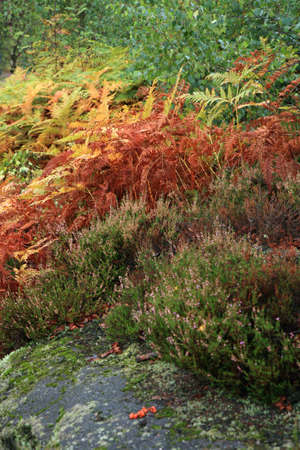 Colorful autumn mountains garden  Ferns and heather around the rocks on the mountain slopes  photo
