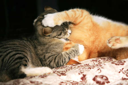 catch wrestling: Two young cats play in the fight  Animal instinct