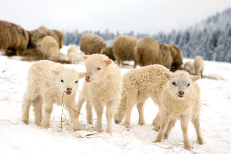 Herd of sheep skudde with lamb eating the hay meadow covered with snow  Winter on the farm  Standard-Bild