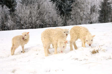 Flock of sheep skudde with lamb eating the hay meadow covered with snow  Winter on the farm