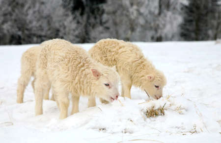 Flock of sheep skudde with lamb eating the hay meadow covered with snow  Winter on the farm  photo