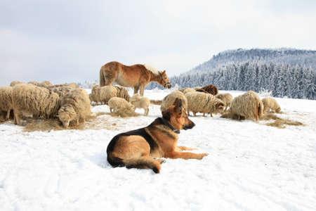 Deutsch Shepherd Bewachung Herde Schafe füttern Skudde Winter auf dem Bauernhof