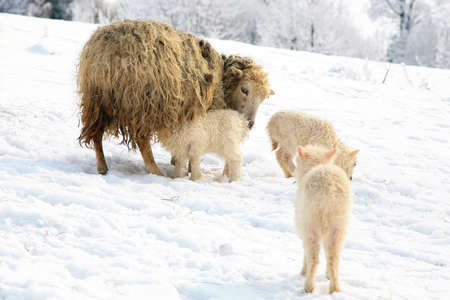 Mother sheep breast feeding her little lamb  Maternal instinct  Live on farm by winter  photo