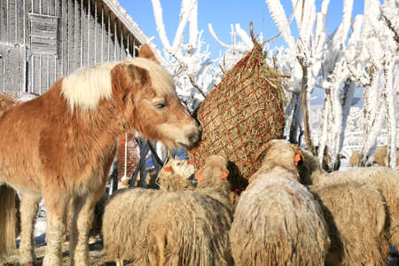 Flock of sheep skudde and horse haflinger eat the hay meadow covered with snow  Winter on the farm  photo