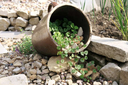 catnip: Eco-friendly, herbal formal garden backyard  Lying stoneware with Glechoma hederacea and catnip on the gravel path  Stock Photo