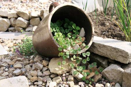 Eco-friendly, herbal formal garden backyard  Lying stoneware with Glechoma hederacea and catnip on the gravel path  版權商用圖片