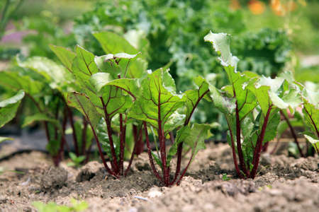 Young beetroots in vegetable intercropping cultivation. Eco-friendly backyard garden, vegetable garden. photo