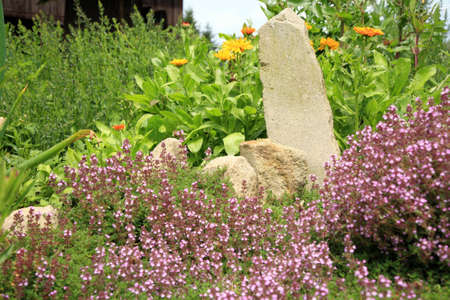 Breckland thyme, wild thyme on the stone wall marigolds and oregano  Decorative path with natural stone  The garden composition  photo