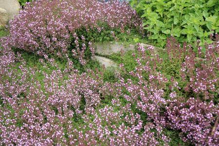 tomillo: Tomillo Breckland, tomillo salvaje en la pared de piedra camino decorativo con piedra natural La composición jardín